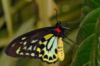 200px-cairns_birdwing_-_melbourne_zoo.jpg